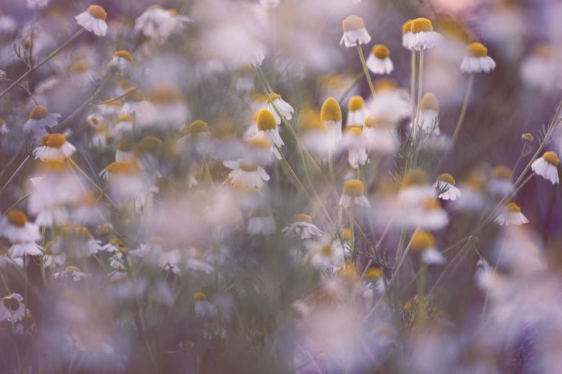 Flower Growth Plant Nature No People Freshness Fragility Beauty In Nature Outdoors Day Flower Head Close-up (null)Relaxed Moments Soft Light Blooming Backgrounds Soft Focus Vegetation Wildflower Summer Uncultivated Yellow Field Meadow