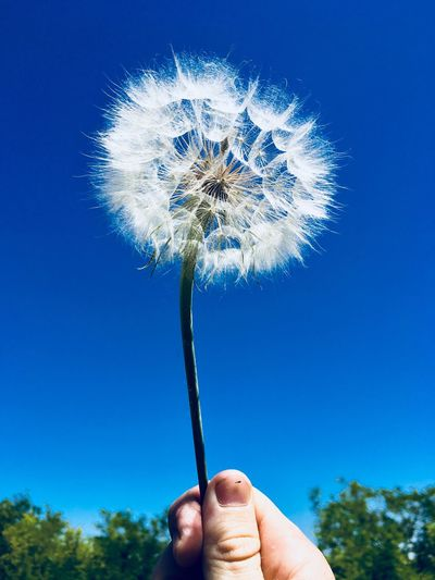 Human Hand Hand Human Body Part Plant One Person Holding Blue Finger Human Finger Sky Personal Perspective Real People Clear Sky Unrecognizable Person Nature Body Part Low Angle View Outdoors Close-up Dandelion