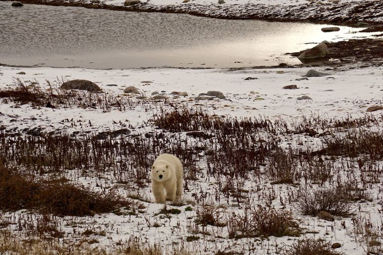 Young polar Bear prior to freeze up Animal Migration Animal Themes Bear Bear Cub CHURCHILL Cold Cute Day Endangered Species Environment Global Warming Hudson Bay Mammal Nature No People North Outdoors Polar Bear Powerful Water Wildlife Winter Young Animal