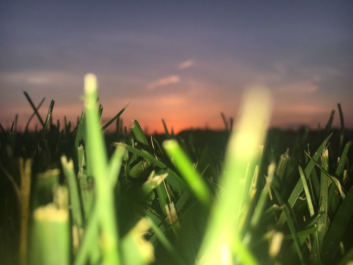 summa lovin Growth Plant Nature Field Selective Focus Outdoors No People Beauty In Nature Green Color Rural Scene Sky (null)Freshness Agriculture Close-up Grass Day Sunset