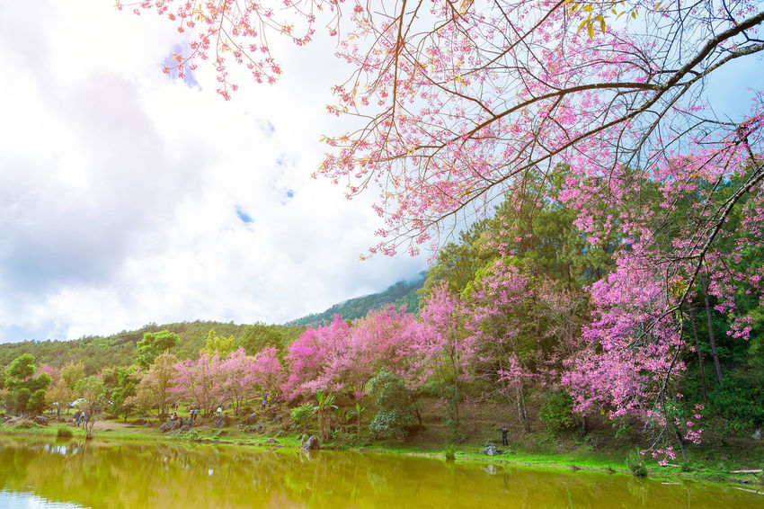 Cherry Blossoms Chiang Mai | Thailand Japan Sakura Autumn Beauty In Nature Blossom Branch Flower Fragility Freshness Growth Lake Landscape Nature Outdoors Park Pink Color Scenics Sky Springtime Summer Tranquil Scene Tranquility Tree