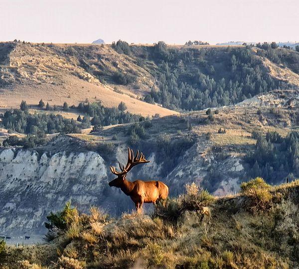 Elk on mountain ridge in theodore roosevelt national park, north dakota