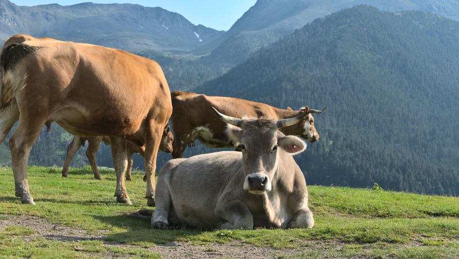 Free cows in the mountains of andorra shot during a trek in the summer