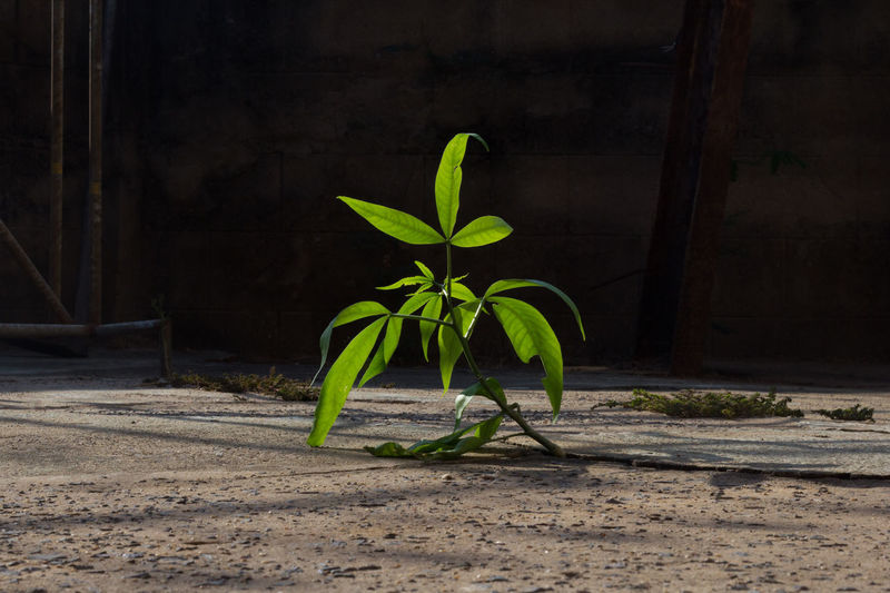 Plant Leaf Plant Part Growth Nature No People Green Color Day Outdoors Fragility Vulnerability  Close-up Beauty In Nature Dirt Wall - Building Feature Freshness Focus On Foreground Architecture Potted Plant