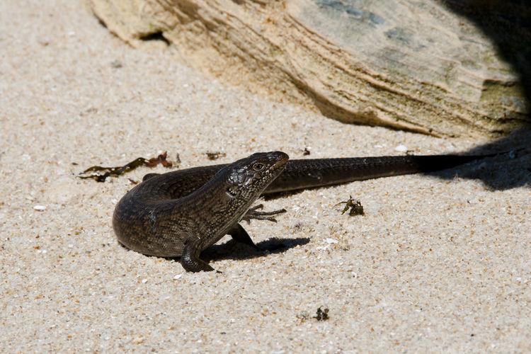 King's Skink Lizard - Rottnest Island Australia King's Skink Lizard Lizard Perth Rottnest Island Skink Lizard King's Skink