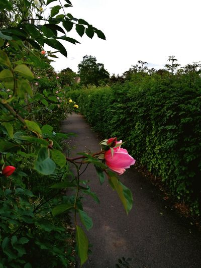 Park Rosé Tree
