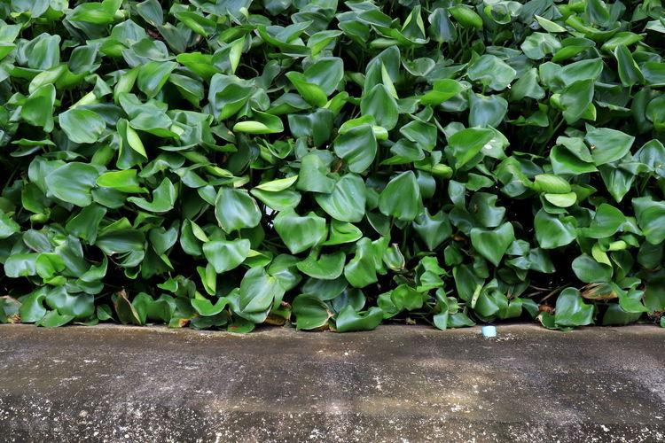 water hyacinth,