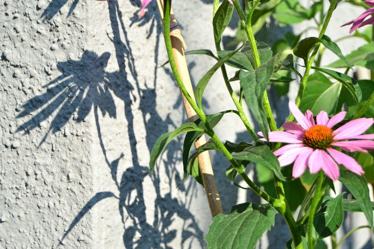 In My Garden Morning Light Summertime Beauty In Nature Blooming Close-up Day Echinacea Flower Echinacea Purpurea Flower Flower Head Fragility Freshness Growth Leaf Light And Shadow Nature No People Outdoors Petal Petal_perfection Plant Shadow Summer Sunlight