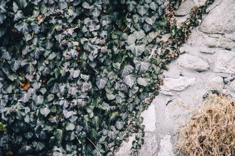 Full Frame Of Ivy Growing On Wall