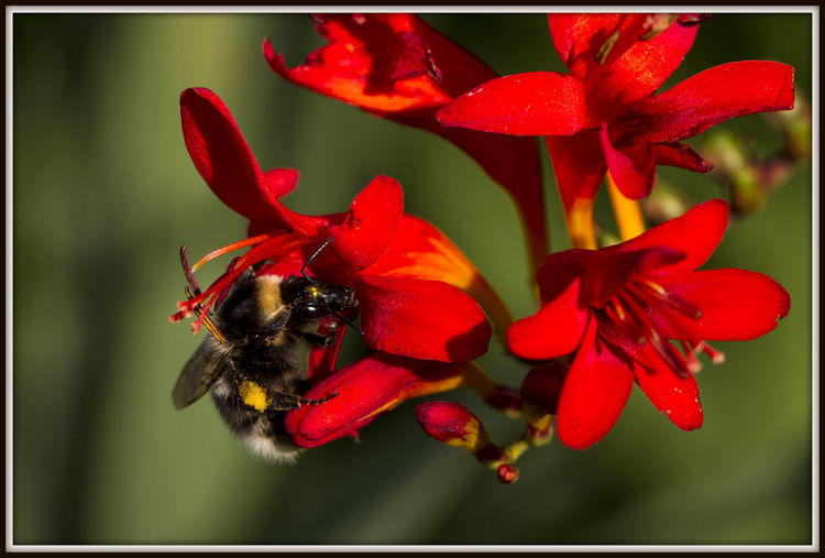 Bee on crocosmia Crocosmia Bee On Crocosmia Bees Bees And Flowers Red Red And Yellow Flower Animal Themes Animals In The Wild Beauty In Nature Bee Close-up Day Flower Flower And Bee Flower Head Fragility Freshness Insect Nature Nectar No People One Animal Outdoors Red