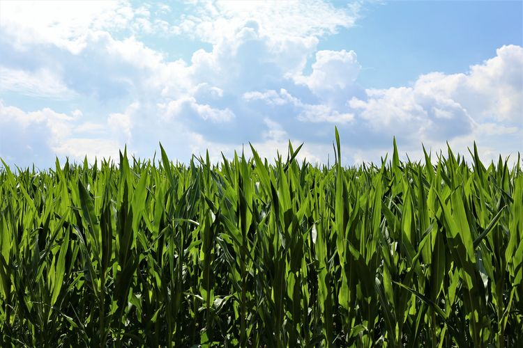 Day Cereal Plant Farm Outdoors No People Nature Tranquility Beauty In Nature Crop  Land Plant Agriculture Sky Field Growth Cloud - Sky Landscape Rural Scene Green Color