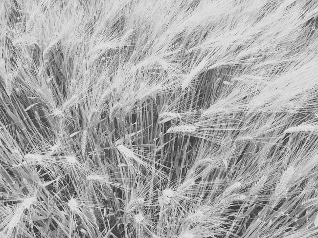 Cereal Plant Wheat Backgrounds Growth Field Agriculture Nature Full Frame Plant Ear Of Wheat No People Outdoors Grass Beauty In Nature Close-up Day Space Gerste Black And White Schwarzweiß Lightful Landscape