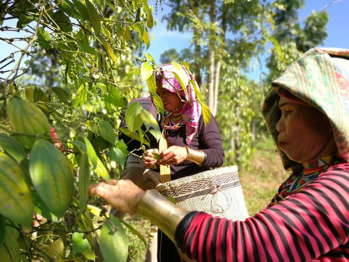 Close-up of farmers harvesting pepper at field