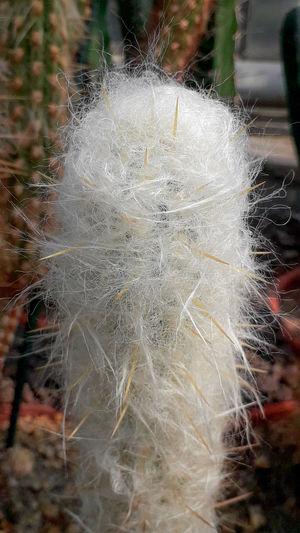 Silk cactus