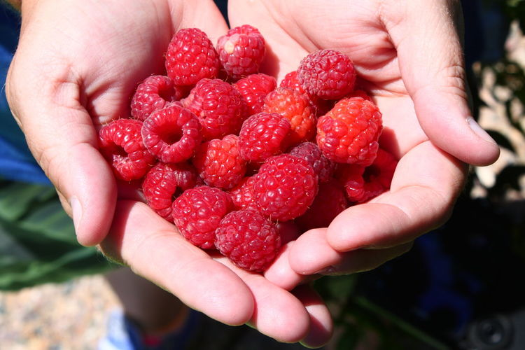 Close-up of person holding raspberries