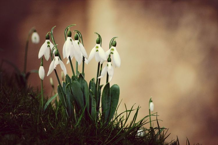 Snowdrops in the castle grounds! Flowers Tones Sepia EyeEm Best Shots Explore Photography Autumn Spring Scenics Nature Silhouette Shadows & Lights Day England Close-up Macro Sun No People Sony Rural Scene Colours Tint Kent