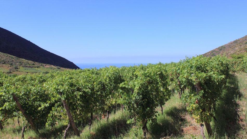 Vineyard Outdoors Nature Agriculture Growth Rural Scene Field Clear Sky Vine - Plant Aeolianislands Taste Of Italy Salina Island