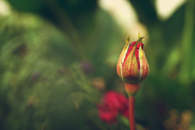 Close-Up Of Rose Bud Outdoors