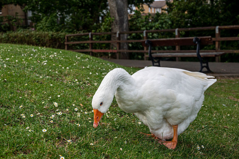 White emden goose looking at the camera eating grass and daisies by the great river ouse, ely
