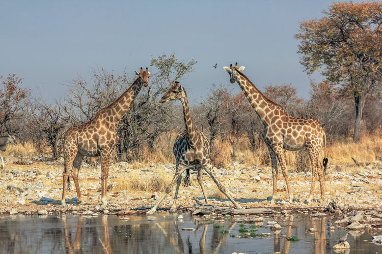 Giraffes by lake against sky