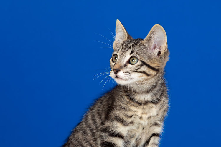 Close-up portrait of a cat against blue background