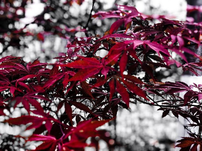 Maple Leaf Plant Red Tree Beauty In Nature Growth Branch Day No People Nature Close-up Leaf Leaves Outdoors Plant Part Focus On Foreground