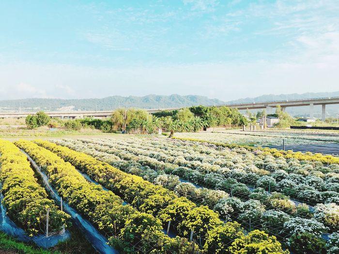 杭菊盛開的季節