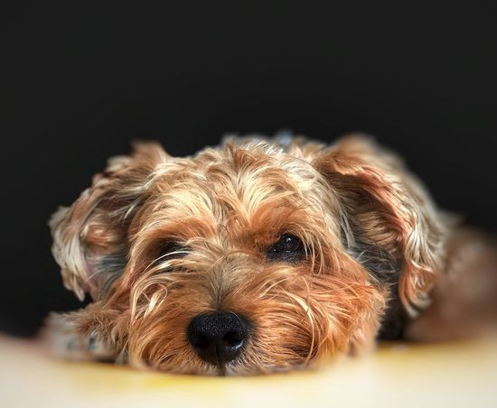 falling asleep 😴 Yorkshire Terrier YorkieBestShots Yorkie Dog Pets Looking At Camera One Animal Animal Themes Portrait Cute Close-up