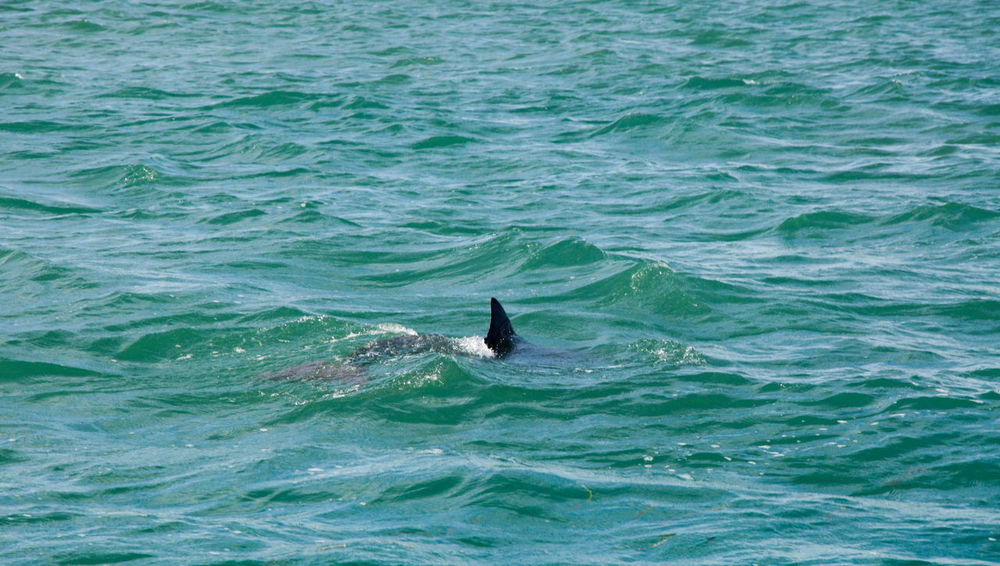 Wild dolphin swimming in the turquoise Indian Ocean waters around Penguin Island in Western Australia. Animal Themes Animals In The Wild Aquatic Mammal Beauty In Nature Blue Dolphin FIN Free Indian Ocean Mammal Marine Nature Ocean One Animal Outdoors Penguin Island Sea Sea Life Swimming Turquoise Under Water Western Australia Wild Wildlife