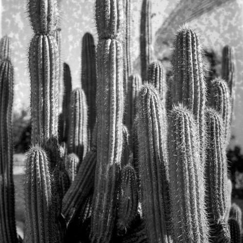 Cacti Day No People Close-up Outdoors Plants Nature Cactus Cactus Garden B&w Rolleiflex Medium Format Kodak Film