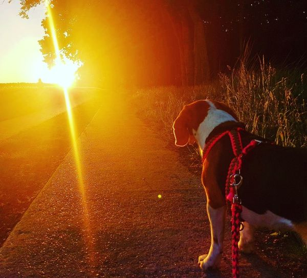instagram: coco_thebeagle_ Cocothebeagle Sunset Sunset_collection Sunset Silhouettes Animal_collection Agriculture Outdoors Close-up Animal Photography EyeEm Best Shots Saxonyanhalt Animal Themes One Animal EyeEm Nature Lover Golden Sunset Beaglelove Beaglelovers Lovemydog 🐕 EyeEmNewHere The Great Outdoors - 2017 EyeEm Awards Beagleoftheday Beagle Beaglelife Beagle Dog Landscape_Collection