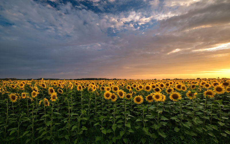 Agriculture EyeEmNewHere Field Sunflower Blue Color Sky Sonnenblume Summer Sunset Yellow