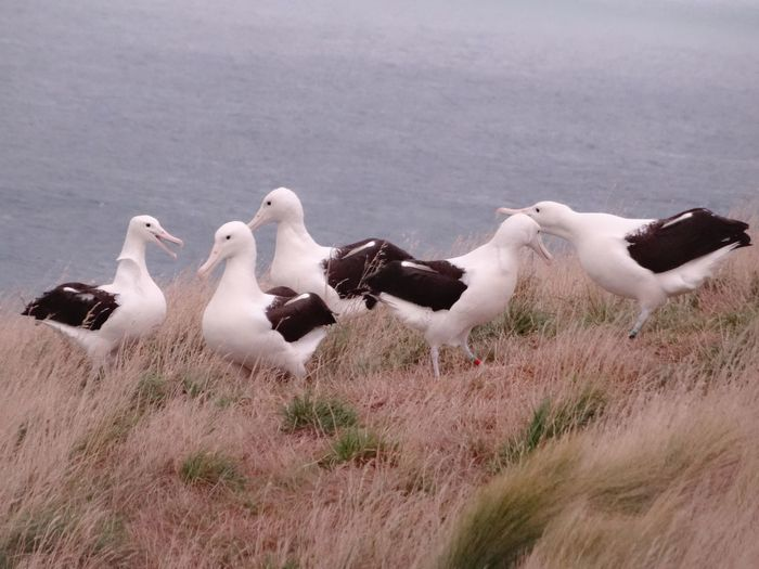 Bird Animals In The Wild Animal Themes Nature Animal Wildlife Day No People Geese Outdoors Togetherness Water Albatros Albatross Birds Sitting Animals In The Wild Animals Animal Group Of Animals Grass Field New Zealand Wildlife Save Animals Windy