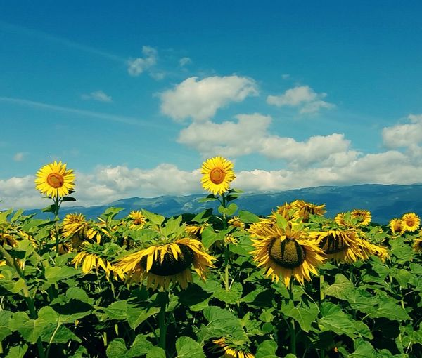 Beautiful sunflowers during my running 🌻 Sunflowers🌻 Flowerpower Beautiful Nature Nature_collection Naturelovers Running Time Sunnyday Nature Photography Summertime Mountains Campagnegenevoise Colour Of Life Colorofnature Switzerland_2016
