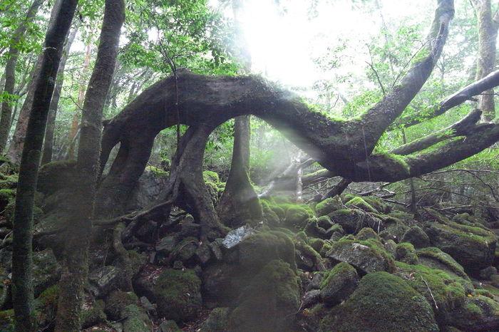 Yufoto Shiratani Unsui Gorge/白谷雲水峡 Beauty In Nature Forest Shiratani-unsui-kyo Shirataniunsuikyo Tranquility Tree Tree Trunk Yakushima Yakushima,japan