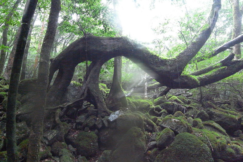 Yufoto Shiratani Unsui Gorge/白谷雲水峡 Beauty In Nature Forest Shiratani-unsui-kyo Shirataniunsuikyo Tranquility Tree Tree Trunk Yakushima Yakushima,japan