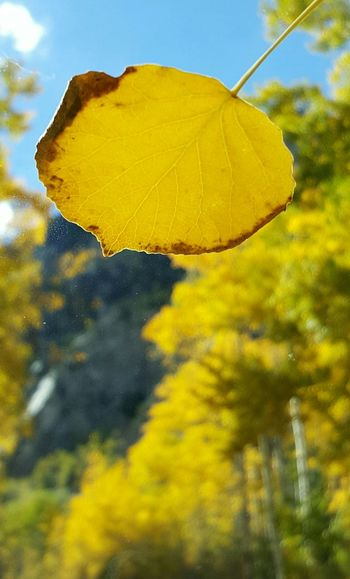 Leaf landed on windshield, snapped pic with background blur Fall Colors Aspen Fall Beauty Seasons Creativity Spontaneity Yellow Windshield Leaf Leaves Autumn Colors Focus Focus On Foreground