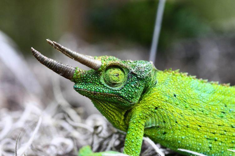 Side view of green jackson chameleon
