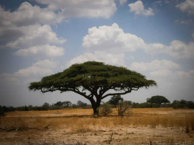 Travel TreePorn Trees Umbrella Thorn Tree African Tree Beauty In Nature Cloud - Sky Environment Horizon Over Land Landscape No People Non-urban Scene Safari Animals Tree