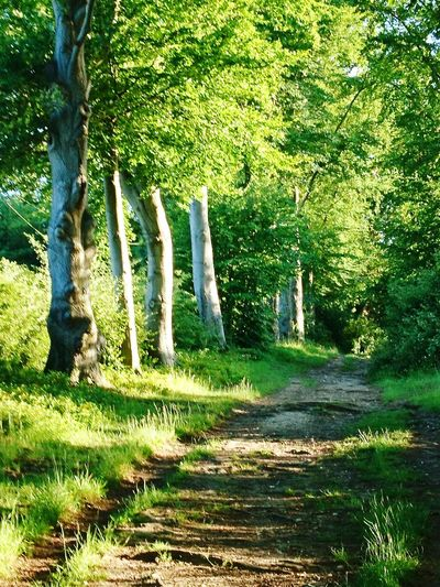 Leafy English country lane. Tree Growth Nature Green Color Outdoors Day No People Grass Sunlight Plant Tree Trunk Tranquility Shadow Beauty In Nature Flower Country Lanes Leafy Avenue