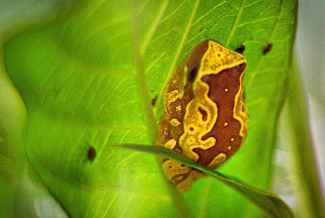Poison Arrow Frog Frog Frogs Check This Out Taking Photos Eye4photography  Amphibians Amphibian EyeEm Nature Lover Close-up