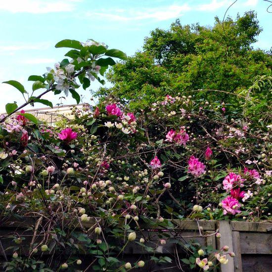 Garden Roses Apple Blossom Enjoying Life