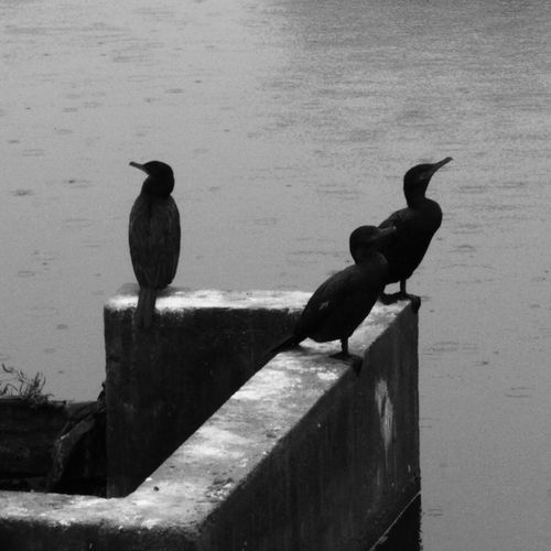 Bird Nature Black & White Bw_ Collection Pbotography Pbphoto Cotidiano Indaiatuba Lost In The Landscape