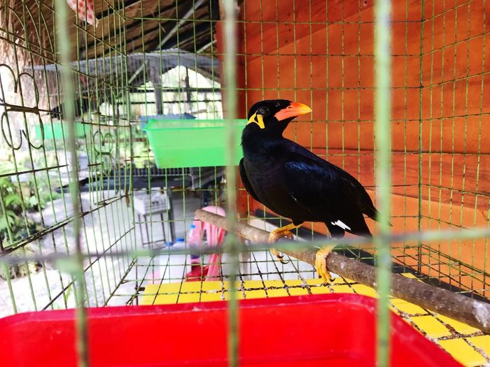 Black bird perching in cage