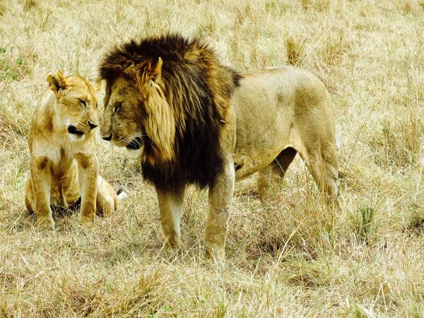 Animal Animal Family Animal Themes Animal Wildlife Day Field Grass Grassy Kingofthejungle Leadership Lion Lions Love Male Animal Mammal Nature No People Outdoors Wildlife Young Animal