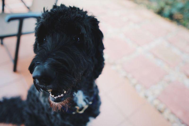 Close-up portrait of black dog on floor
