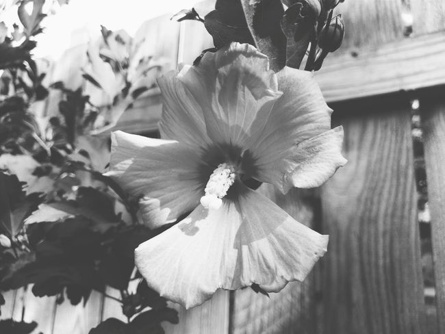 My first picture shared on Eyeem. Htc10 Rose Of Sharon B&w B&w Nature B&w Photography First Eyeem Photo Mobile Photography VSCO
