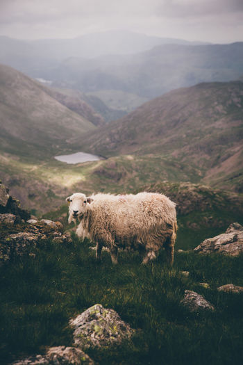 Side view of sheep on mountain