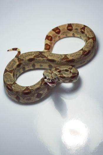 Snake No People Close-up Animal Themes Animal Reptile Boa Boa Constrictor Angry Angry Animal Angry Snake