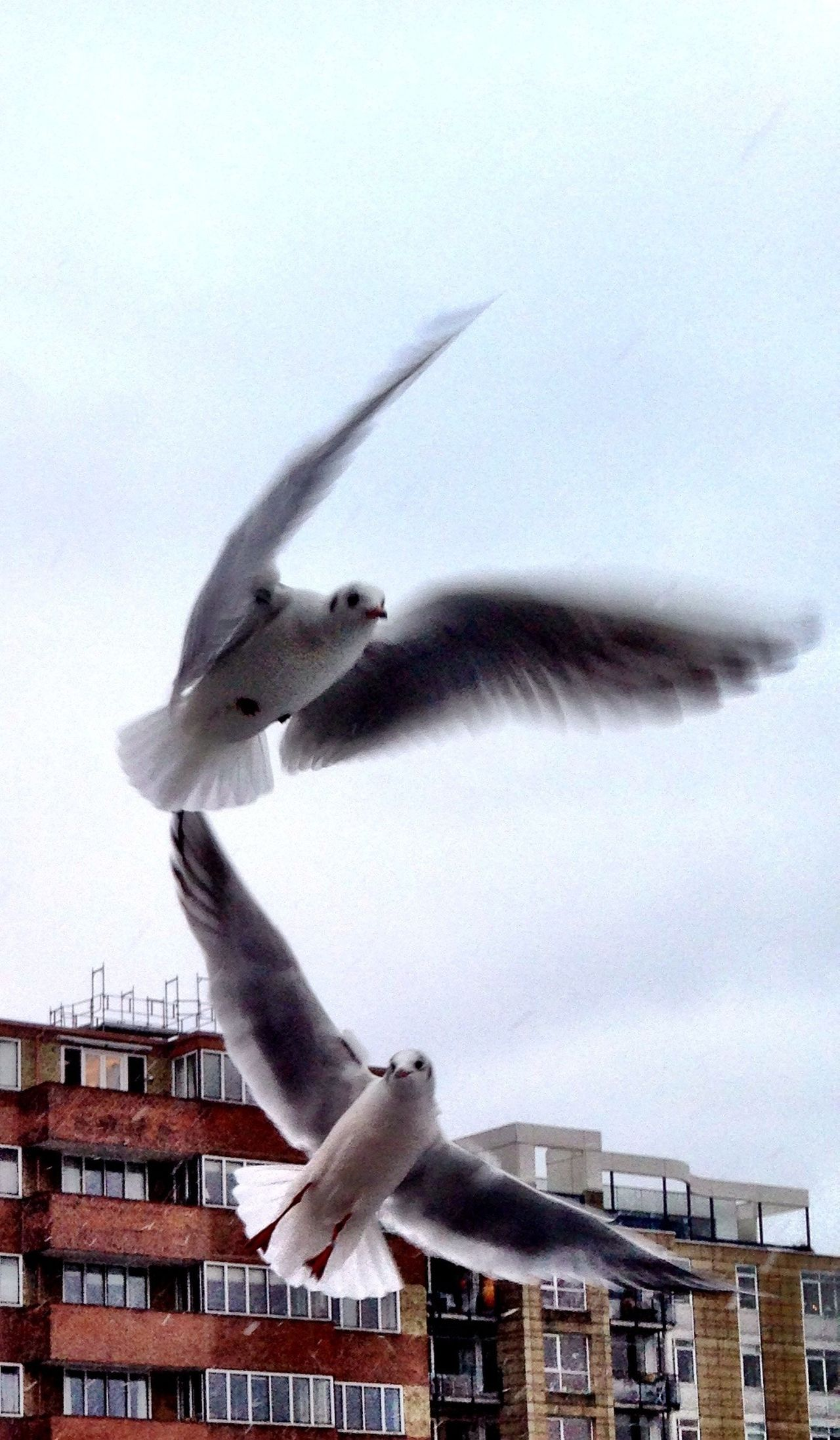 Seagulls flying in city